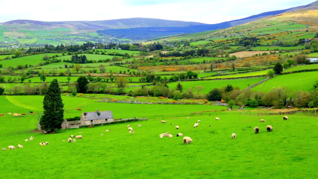 flock of sheep grazing on rolling hills in ireland - northern ireland stock videos & royalty-free footage