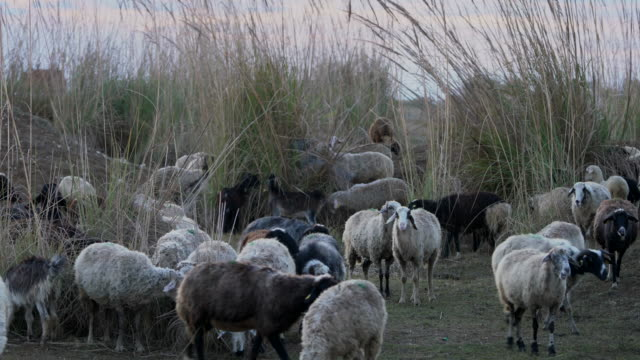 flock of sheep grazing - flock of sheep stock videos and b-roll footage