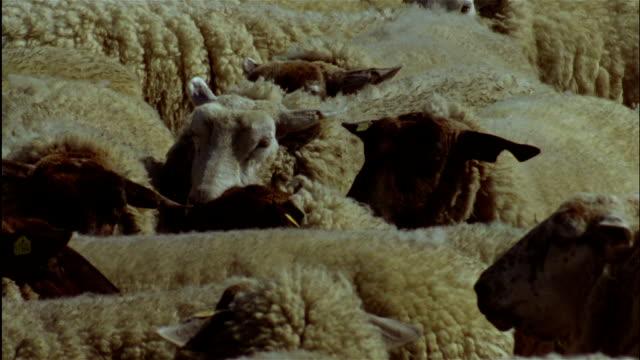CLOSE UP flock of sheep huddle together