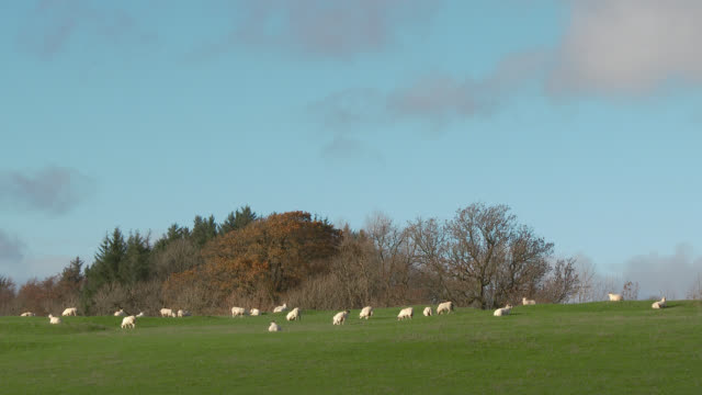 Flock of sheep in a field in Dumfries and Galloway, south west Scotland