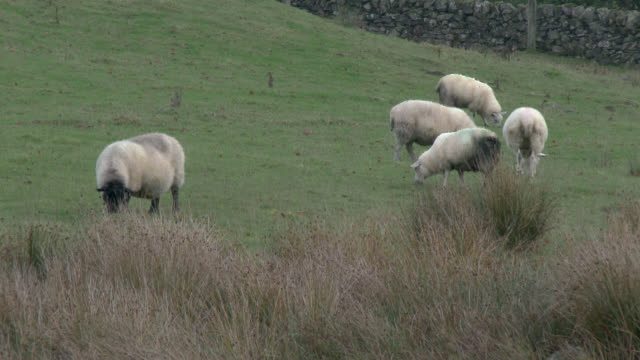 Flock of sheep in a field on a grey overcast day