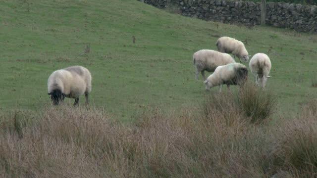 Schafherde in einem Feld auf einem grauen, bewölkten Tag
