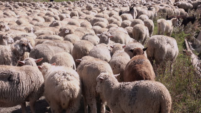 flock of sheep in a mountain village - herder stock videos & royalty-free footage