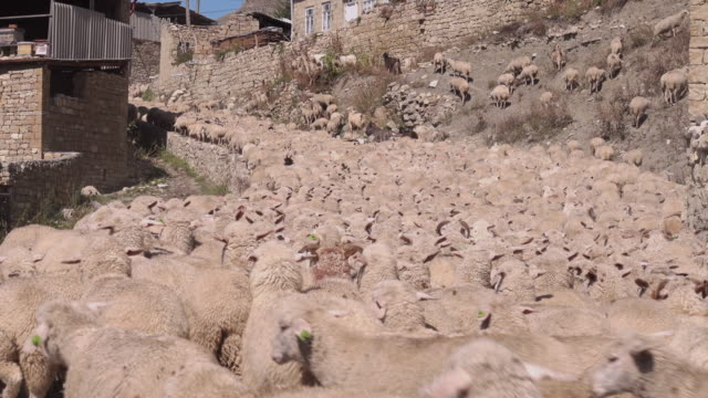 flock of sheep in a mountain village - flock of sheep stock videos & royalty-free footage