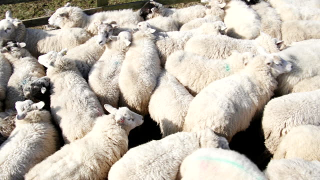 flock of sheep in a pen - sheepdog stock videos & royalty-free footage