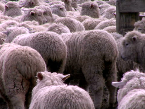 cu, pan, flock of sheep in corral, new zealand, - erbivoro video stock e b–roll