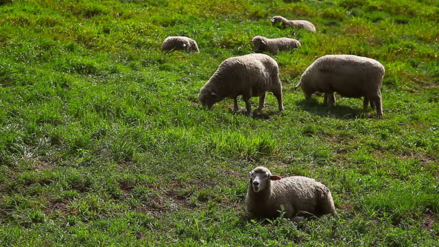 vídeos de stock e filmes b-roll de ms flock of sheep in daegwallyeong yangtte pasture (sheep farm) / pyeongchang, gangwon do, south korea - mamífero ungulado
