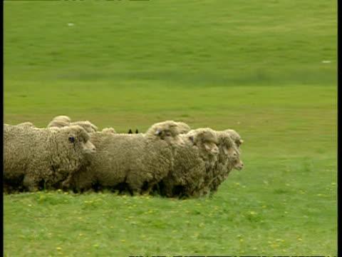 vídeos de stock e filmes b-roll de ms flock of sheep in field being herded by sheepdog, sheep move to camera - ovelha mamífero ungulado