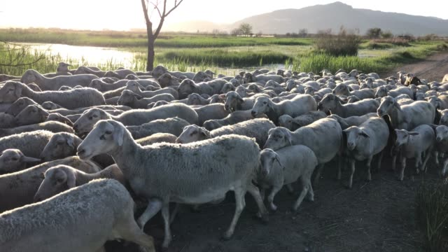flock of sheep in field - herding stock-videos und b-roll-filmmaterial