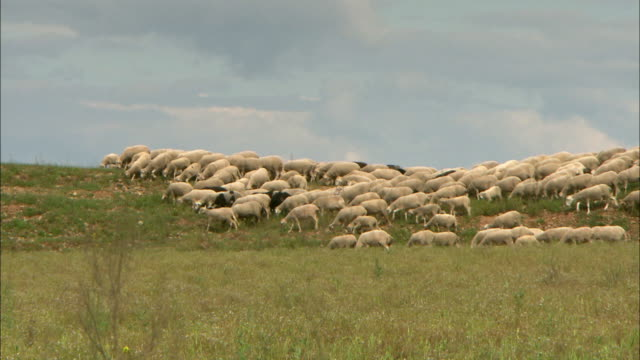 flock of sheep in la rioja countryside - flock of sheep stock videos & royalty-free footage