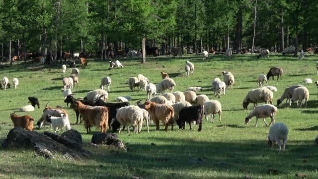 vídeos y material grabado en eventos de stock de flock of sheep in pasture, midwestern mongolia - de cara al suelo