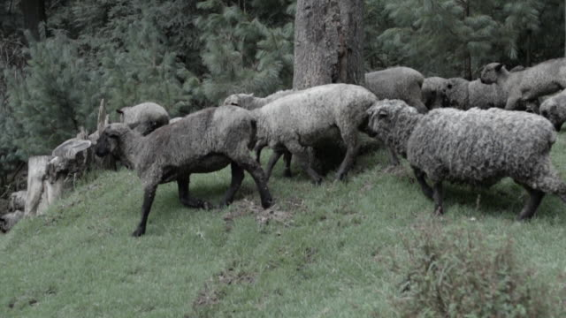 Flock of sheep moving in pasture, slow motion