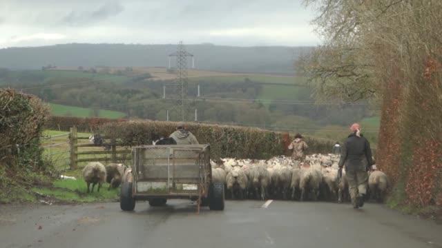 Flock of Sheep on a Devon Road