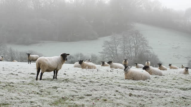 a flock of sheep on a frosty winter morning. - hooved animal stock videos & royalty-free footage