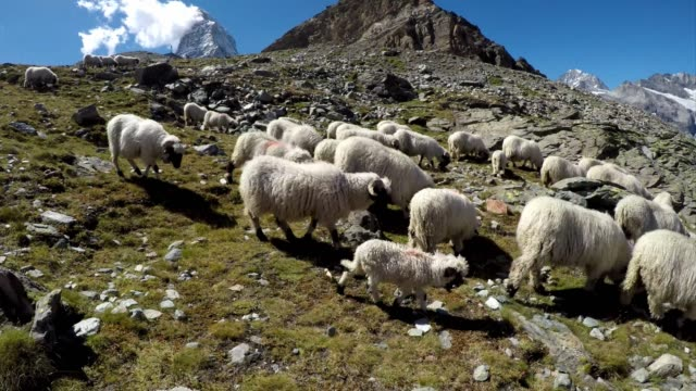 flock of sheep on idyllic mountain with blue sky and snow capped swiss alps panorama - schneebedeckt stock-videos und b-roll-filmmaterial