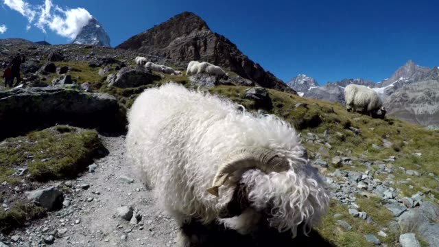 flock of sheep on idyllic mountain with blue sky and snow capped swiss alps panorama - kanton wallis stock-videos und b-roll-filmmaterial