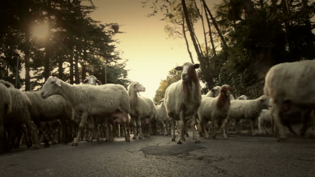 flock of sheep on the road - flock of sheep stock videos and b-roll footage