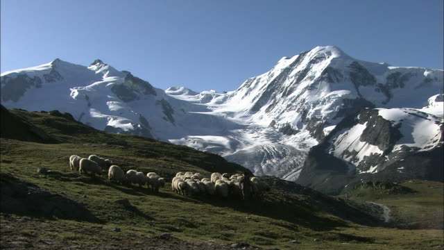 a flock of sheep pastured on alp in switzerland - shepherd stock videos & royalty-free footage