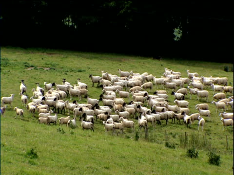 flock of sheep rounded up by sheep dog in field cotswolds - rassehund stock-videos und b-roll-filmmaterial
