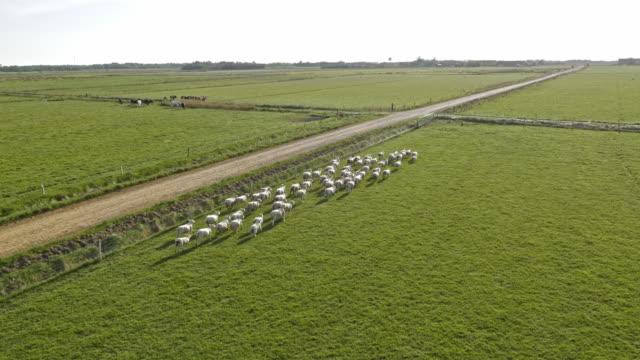 Luchtfoto kudde schapen uitgevoerd in moeras grasland