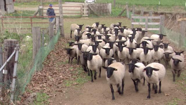 A Flock Of Sheep Running