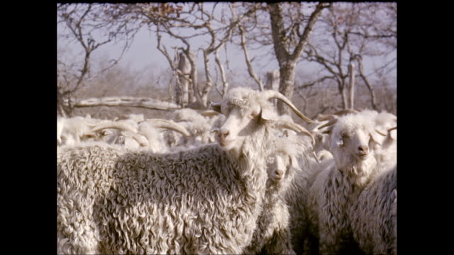 ms flock of sheep / united states - flock of sheep stock videos & royalty-free footage