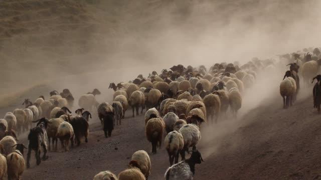 vidéos et rushes de un troupeau de moutons - solidarité