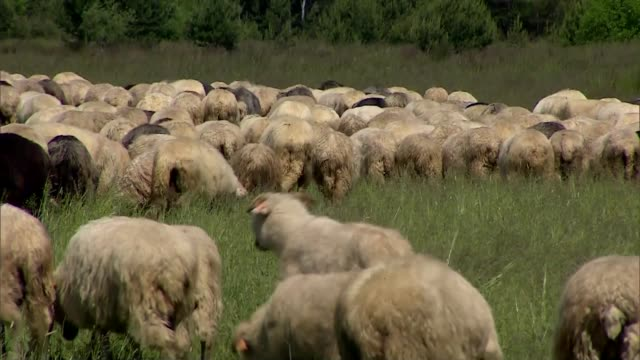 flock of sheep - sheep stock videos & royalty-free footage