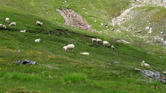 flock of sheep - alm stock-videos und b-roll-filmmaterial