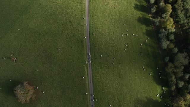 flock of sheep - bestiame video stock e b–roll