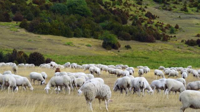 vídeos y material grabado en eventos de stock de flock of sheep - comunidad autónoma de aragón