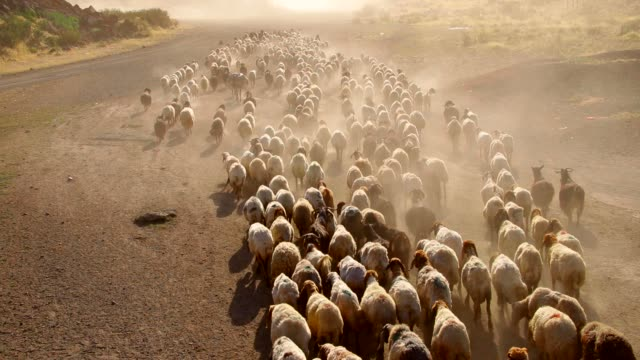 a flock of sheep - anatolia stock videos and b-roll footage
