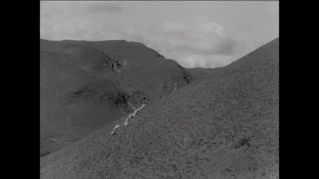montage flock of sheep walking across grassy farmland / aberystwyth, wales - aberystwyth stock videos & royalty-free footage