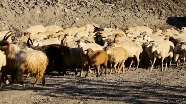 flock of sheep with running on mountain landscape. - caucasus stock videos and b-roll footage