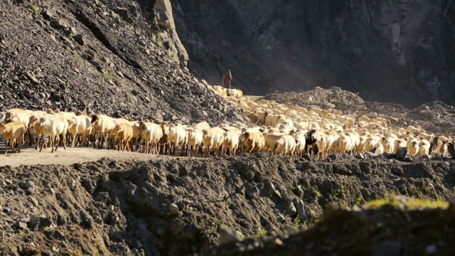 flock of sheep with running on mountain landscape. - shepherd stock videos & royalty-free footage