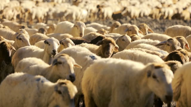 stockvideo's en b-roll-footage met flock of sheep with running on mountain landscape. - grote groep dieren