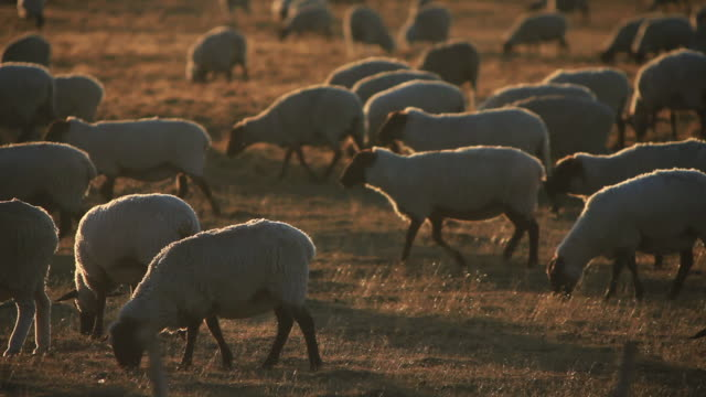 ms flock of sheeps grazing at sunset light / isla grande de tierra del fuego, chilean patagonia, chile - herbivorous stock videos & royalty-free footage