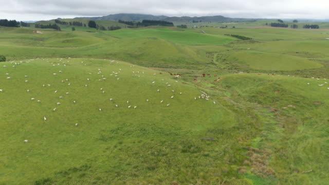 vidéos et rushes de 2/5k troupeau de moutons broutant dans la ferme verte à state highway 49, ohakune, nouvelle-zélande - nouvelle zélande
