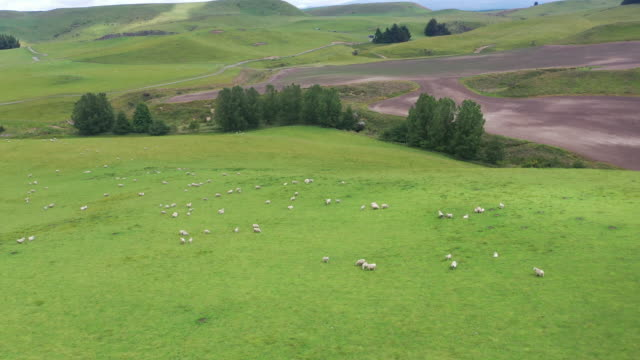 (1/6)flock of sheeps grazing in green farm at state highway 49, ohakune, new zealand - ranch stock videos & royalty-free footage