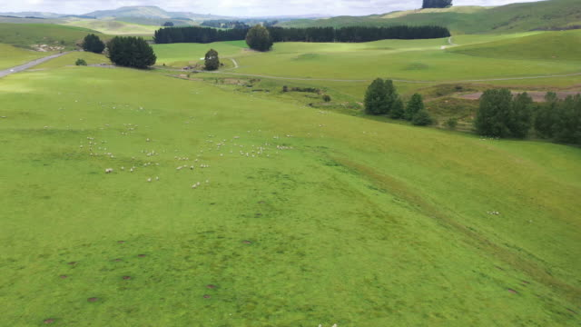 (2/6)flock of sheeps grazing in green farm at state highway 49, ohakune, new zealand - wool stock videos & royalty-free footage