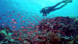 Flock of small beautiful red fishes at reef