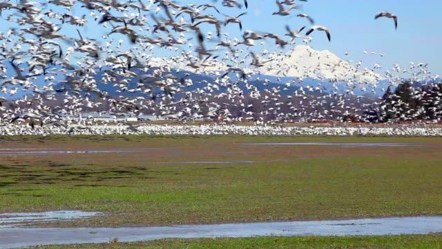 vidéos et rushes de ws flock of snow geese (chen caerulescens) flying above field, snow-capped mount baker in background, skagit valley, washington, usa - oie oiseau des rivières
