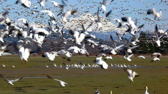 ws flock of snow geese (chen caerulescens) flying above field, snowcapped  mount baker in background, skagit valley, washington, usa - oca uccello d'acqua dolce video stock e b–roll