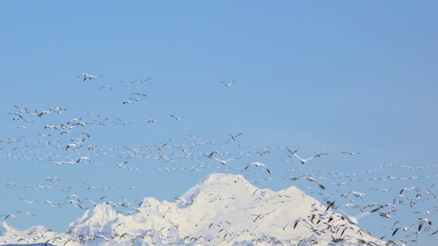 ws flock of snow geese (chen caerulescens) flying, snowcapped mount baker in background, skagit valley, washington, usa - oca uccello d'acqua dolce video stock e b–roll