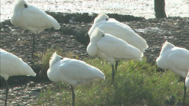 flock of spoonbills resting  pan left  medium shot - auf einem bein stock-videos und b-roll-filmmaterial
