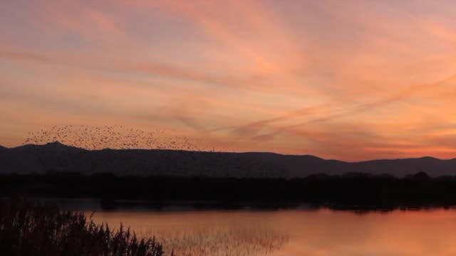 Flock of Spotless starling in flight