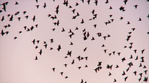 ms ts flock of starlings displaying murmuration against sunset sky / judea, israel - bird video stock e b–roll