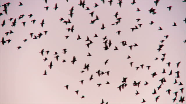 ms ts flock of starlings displaying murmuration against sunset sky / judea, israel - uccello video stock e b–roll