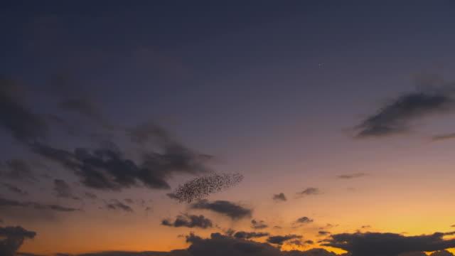 MS Flock of starlings displaying murmuration against sunset sky / Judea, Israel