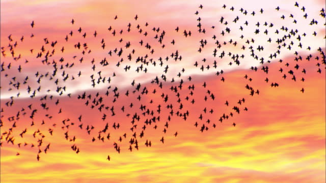 flock of starlings (sturnus vulgaris) flies at sunset, conwy, wales, uk - flock of birds stock videos & royalty-free footage